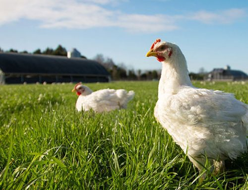 Nerdy chickens? Supporting chicken welfare with science