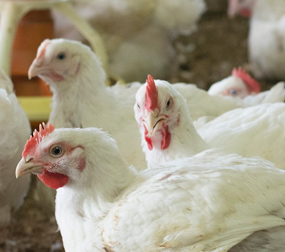 Australian Chicken Meat Federation - Home Page