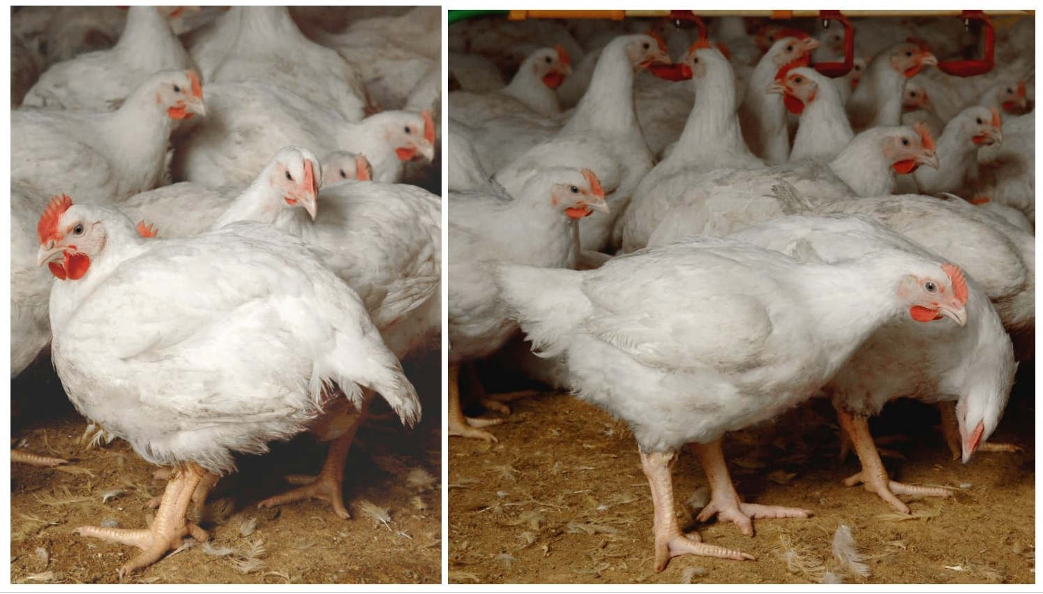 chicken meat production acmf - HD1495×851