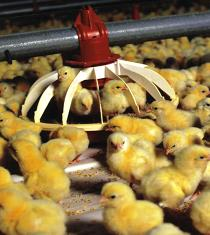 Chicks at a feed pan
