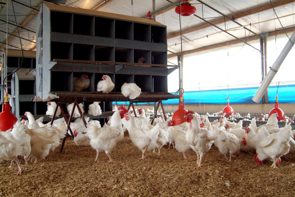 chicken meat production acmf - 1024×685