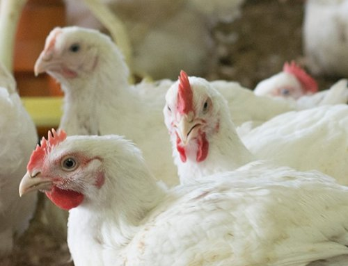 'Chicken Farming in the Living World' Coming to School Next Year!