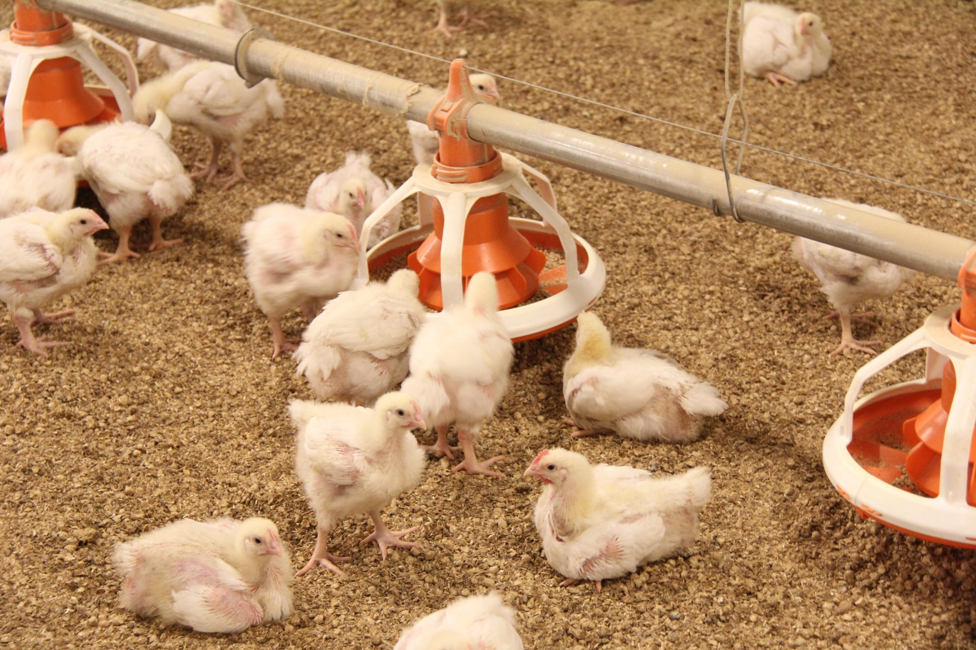 chicken meat production acmf - HD1920×1280