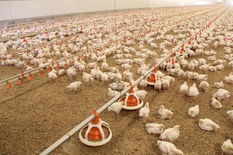 chicken meat production acmf - 800×533