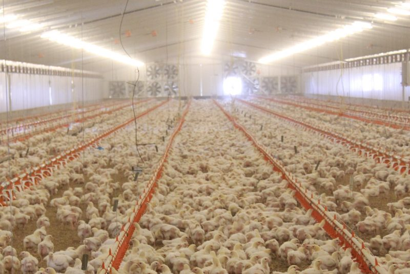 chicken meat production acmf - HD2401×1607