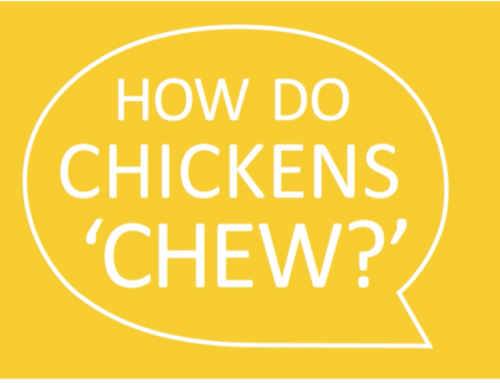 Can Chickens 'Chew'?