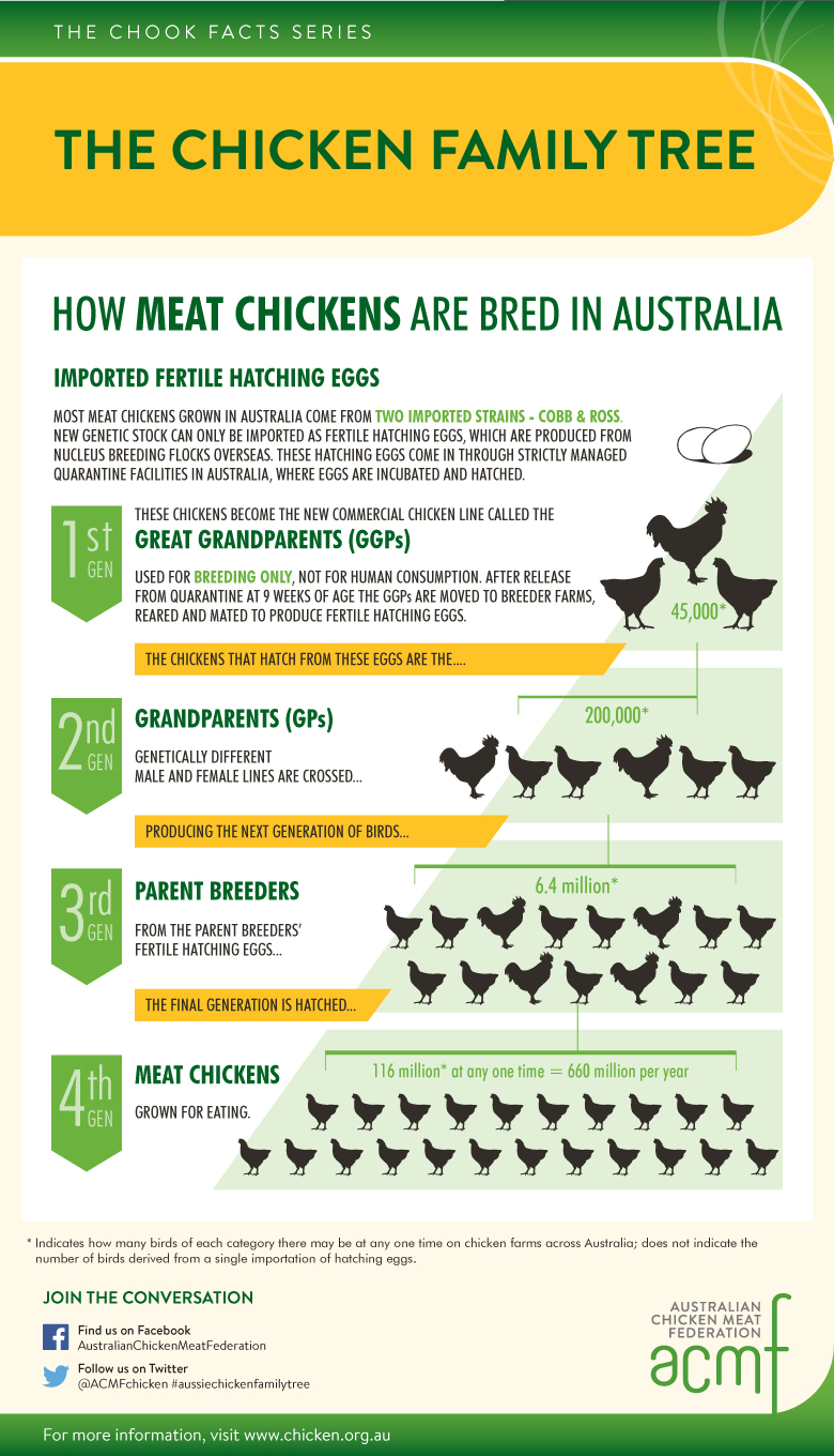 Infographic of meat chicken breeding in Australia